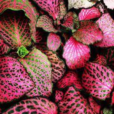 Une jolie plante exotique qui n'en n'a pas l'air, le fittonia