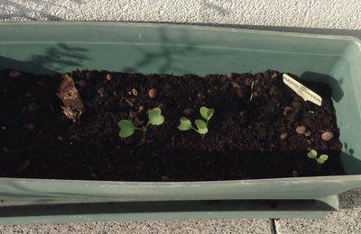 """Semis de radis noir variété """"gros long d'hiver"""", 2ème essai 2017"""