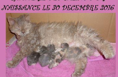 LA CHATTERIE DES CALINS D'OR à la joie de vous informez de la naissance de 4 bébés SELKIRK REX NEE LE 30 DECEMBRE 2016