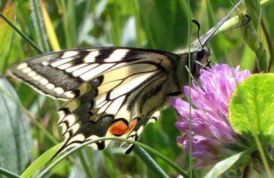 Machaon (Papilio machaon Linnaeus), Dijon, combe à la serpent, pointe de Morgemain