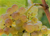 Marsanne Producers Southern California