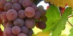 Pinot Grigio Producers Southern California