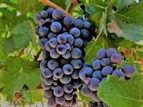 Barbera Producers South Coast California