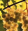 White Blend Wine Producers South Coast California p3