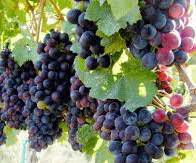 Dolcetto Producers South Coast California
