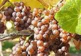 Pinot Gris Producers South Coast California
