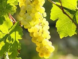 Riesling Producers South Coast California