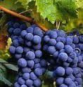 Tannat Producers South Coast California