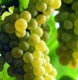 Chardonnay Producers Central Coast California