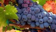Tempranillo Producers North Coast California