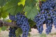 Petite Syrah Producers San Francisco Bay California