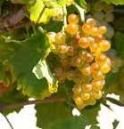 Roussanne Producers San Francisco Bay California