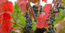 Carignan Producers Central Valley California
