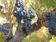 Rose Carignan Producers Central Valley California