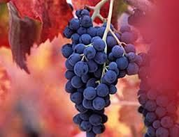 Barbera Producers Central Valley California