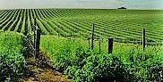 Moscato Producers Central Valley California