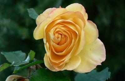 Mignonne allons voir si la rose....