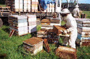 Changement de crise ? L'apocalypse ne guette vraisemblablement pas les abeilles... mais qu'en est-il des apiculteurs ?