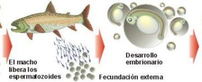 Los organismos unicelulares se reproducen por for Reproduccion en peces