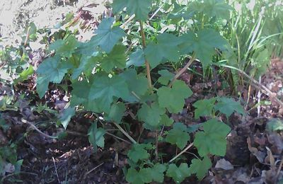 "Ribes rubrum "" Junifer """