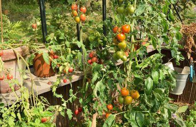 Faut-il enlever les feuilles des tomates ?