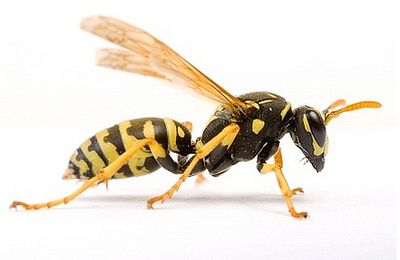 Get rid of the existence of Wasps by professional pest control management