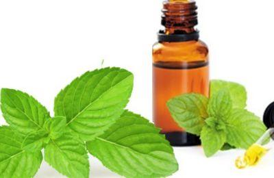 L'huile essentielle de menthe poivrée, une petite merveille médicinale, Mentha piperita