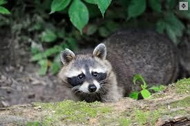 Are you currently Hearing Running Crying Nibbling Noises in Your Attic? You might have a Raccoon in Your Loft