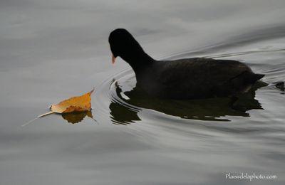 Photographier des canards à Paris ?