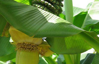 Bananiers et frelons asiatiques