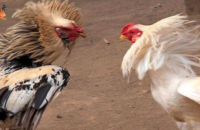 Mengenal Sejarah Dari Ayam Petarung