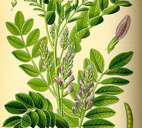 Glycyrrhizaglabra ou réglisse