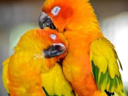 Le Conure Soleil, Arantiga Solistalis, Amérique du Sud, en danger d'extinction