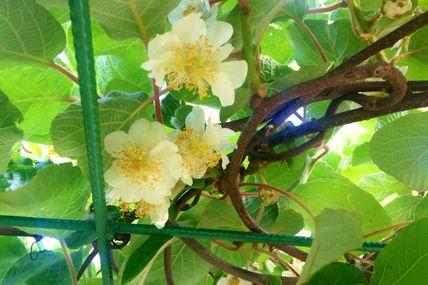 Fleurs de kiwi à la Ferme... A quand les fruits ?