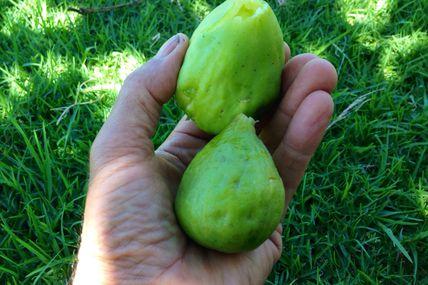 Savoureuses et délicieuses les figues de Nanou