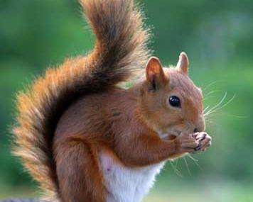 Little écureuil