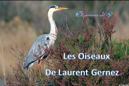 Les oiseaux de Laurent Gernez
