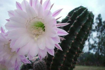 Trandafirul, vaca si cactusul