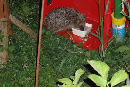 Er schmatzt und rülpst - Igel in unserem Garten