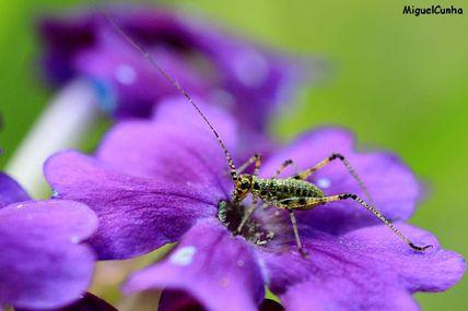 Une sauterelle très fleur bleue