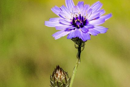 Catananche bleue (Catananche caeruela).