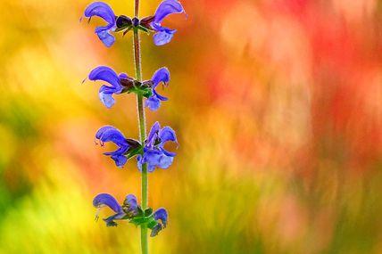 Sauge des prés (Salvia pratensis).