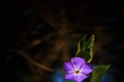 Grande pervenche (Vinca major L.)