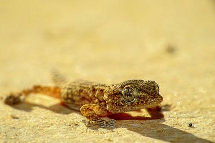 Tarente de Maurétanie (Tarentola mauritanica)