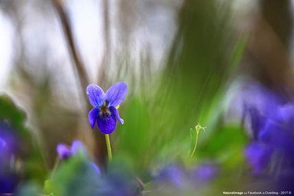 Violette odorante (Viola odorata)