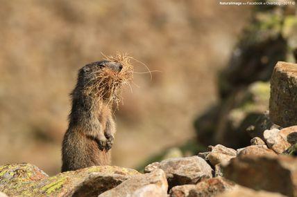 Marmotte des Alpes (Marmotta marmotta)