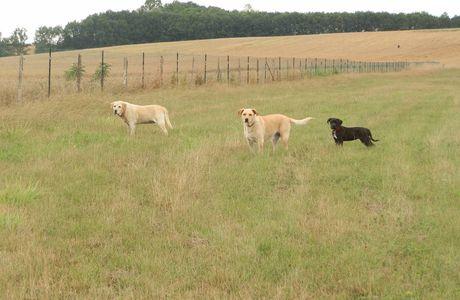 promenade des gros chiens
