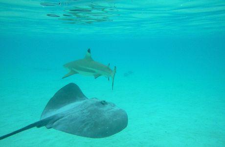 ... la Polynésie: nager avec les requins, les raies, Némo...et tous les autres #4