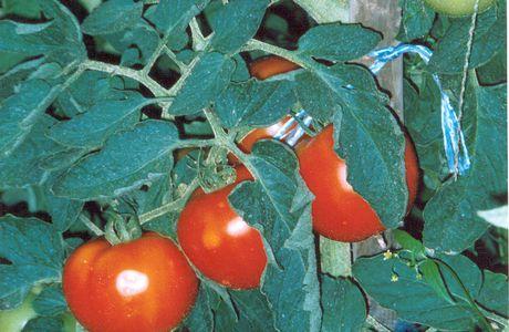 Tomates d'Alsace