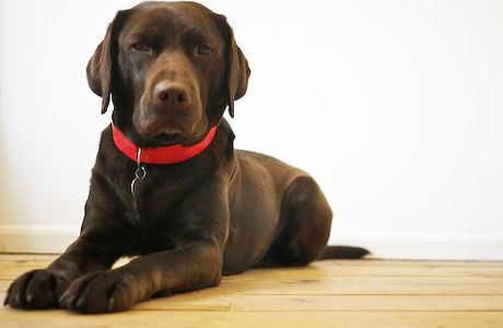 Choose the Right Collar for Your Labrador